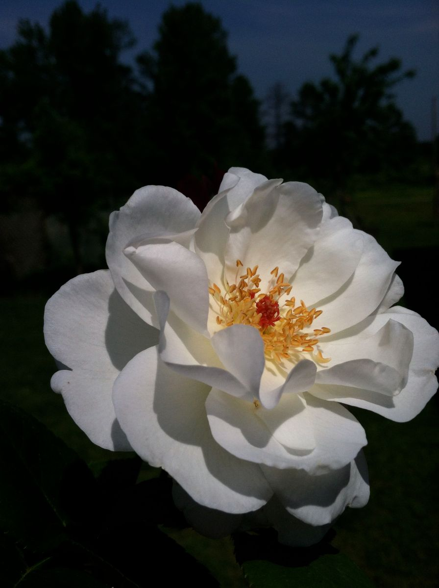 Old World White Rose Wildland Gardens