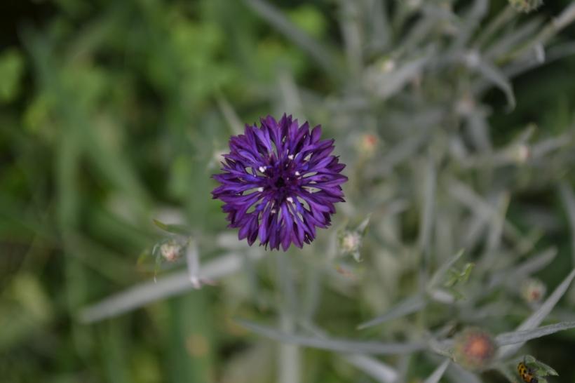 Purple Bachelor Button