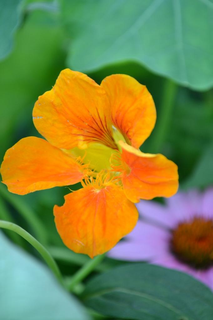 Nasturtium (edible)